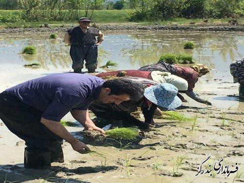 با حضور فرماندار بندرگز اولین نشاء برنج در گلستان آغاز شد